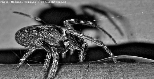 Spinne, photographiert von Michael Helming
